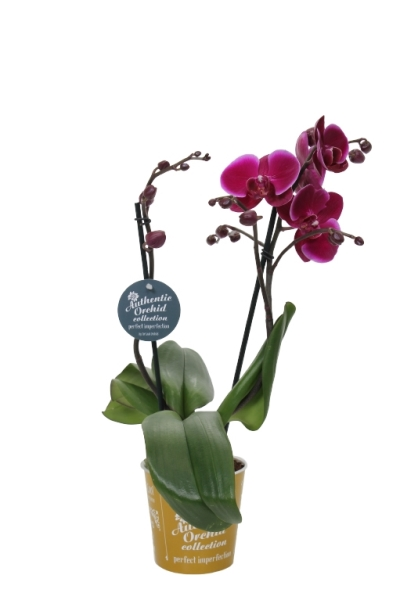 Authentic Orchid